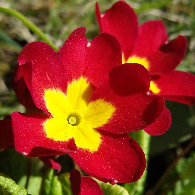 многолетние садовые цветы фото название