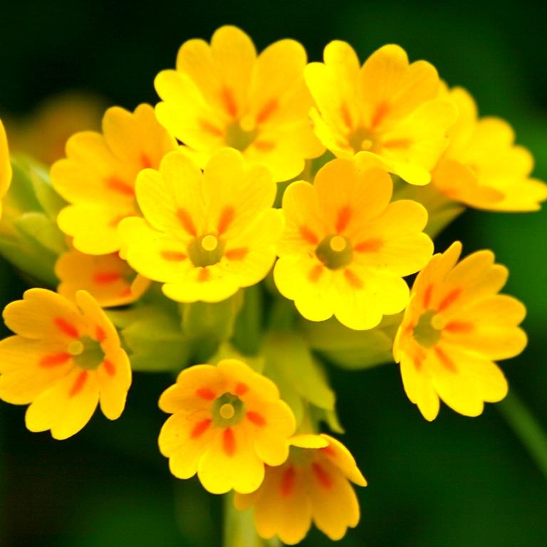 Одно из первых лекарственных растений, которое радует нас весной, - примула весенняя.