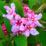 Розовая вейгела (Weigela florida)