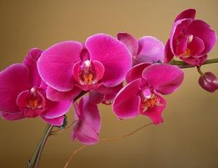 Орхидея Вильгельмина