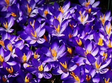 Голубые цветы - крокусы