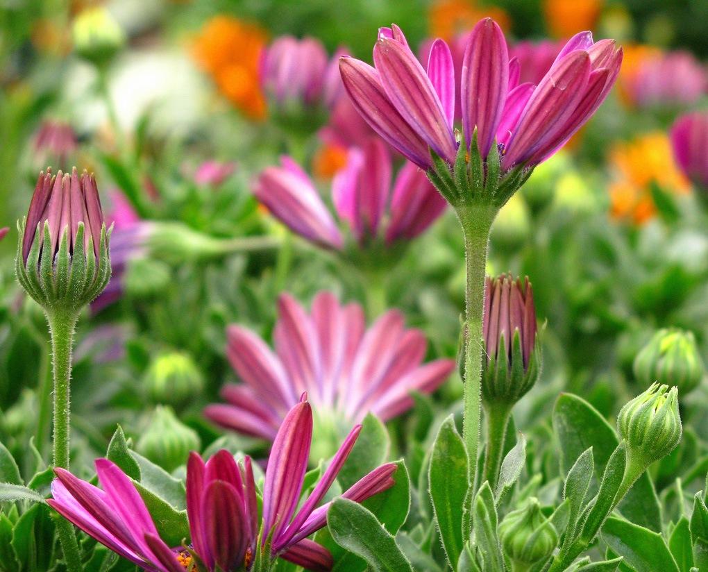 ... цветы название фото - Фото цветов: w760.do.am/blog/foto_cvety_mnogoletnie_na_klumbakh_foto_cvetov/2013...