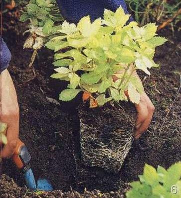 Клумб из многолетних цветов