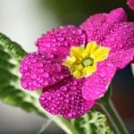 Примулы – семейство первоцветов
