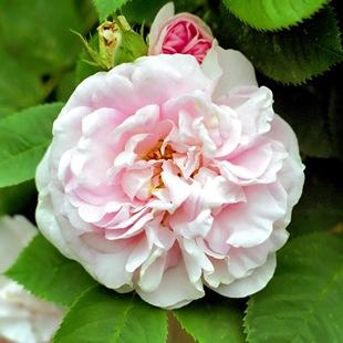 Розовая роза 'Maiden's Blush'