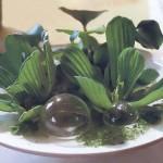 Комнатные водные растения