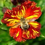 Лакфиоль и пчела