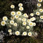 Гелиптерум беловатый