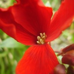 Хейрантус красный