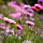 Гелиптерум розовый