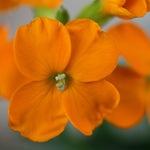 Лакфиоль оранжевая