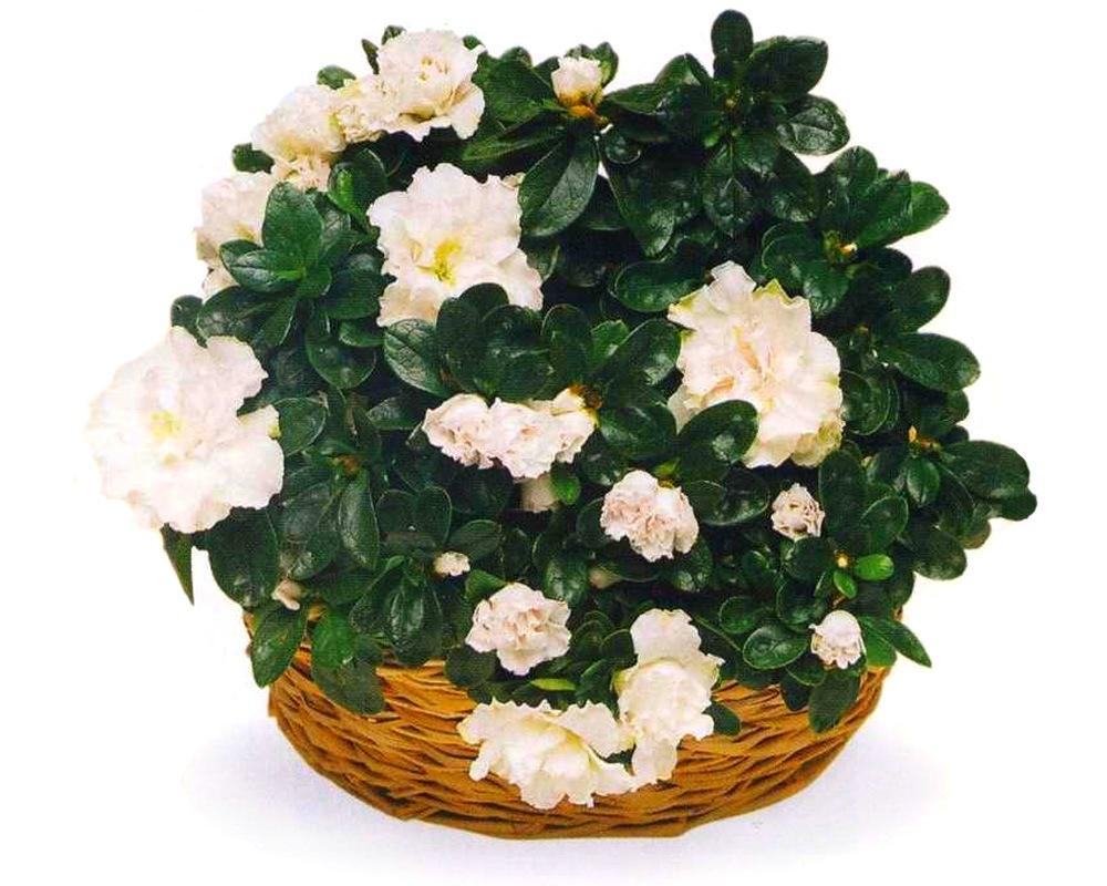Азалия индийская с белыми цветками