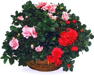 Азалия - красная и белая с розовым
