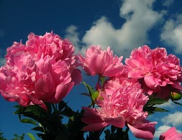 Садовые цветы и растения. Paeonialactiflora_thumb1