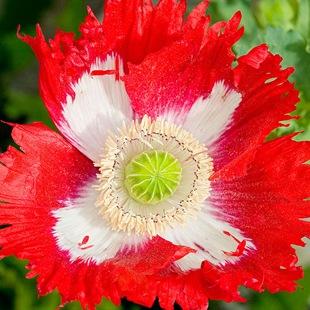 Садовые цветы и растения. Poppy_thumb