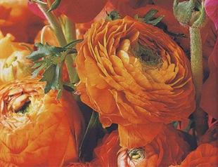 Оранжевый махровый лютик