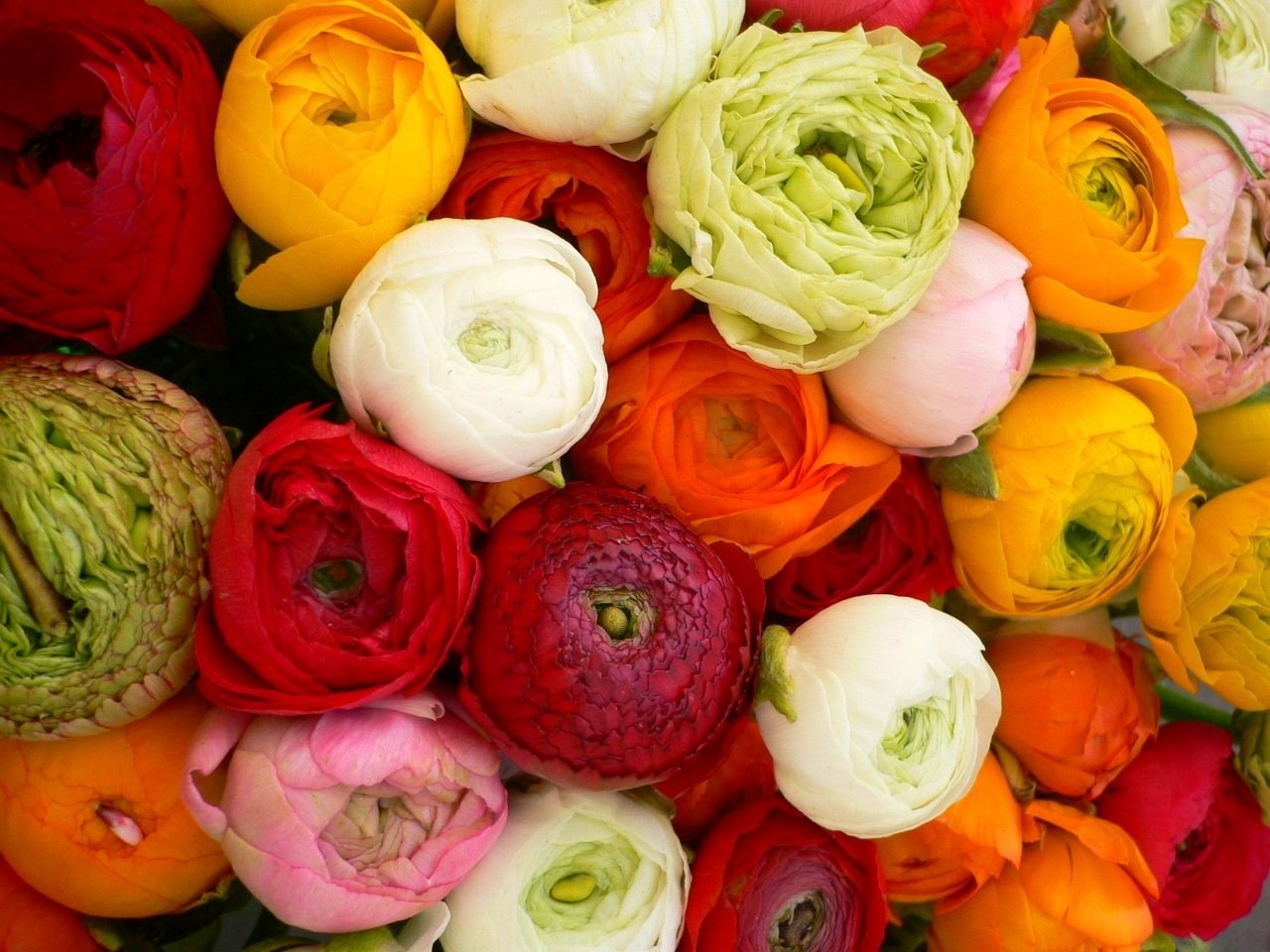 http://flowers.cveti-sadi.ru/files/2010/04/Ranunculus19.jpg