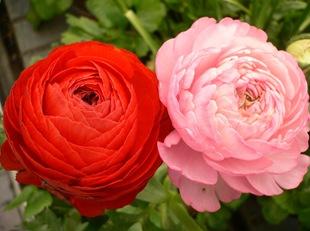 Ранункулюс розовый и красный