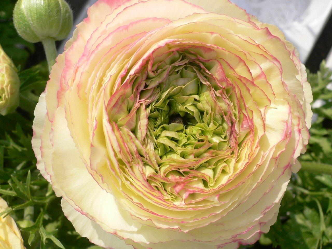 Лютики цветы фото и названия
