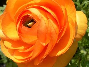 Ранункулюс оранжевый