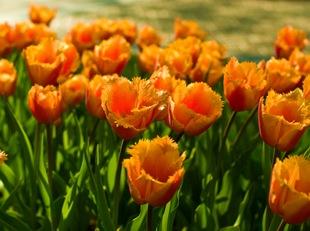 Оранжевые махровые тюльпаны
