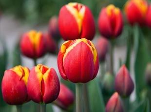 Красные тюльпаны с желтой каемкой