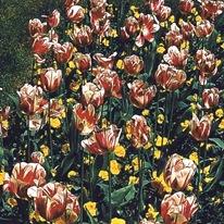 Белые с красным тюльпаны