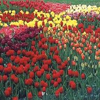 Разнообразие тюльпанов