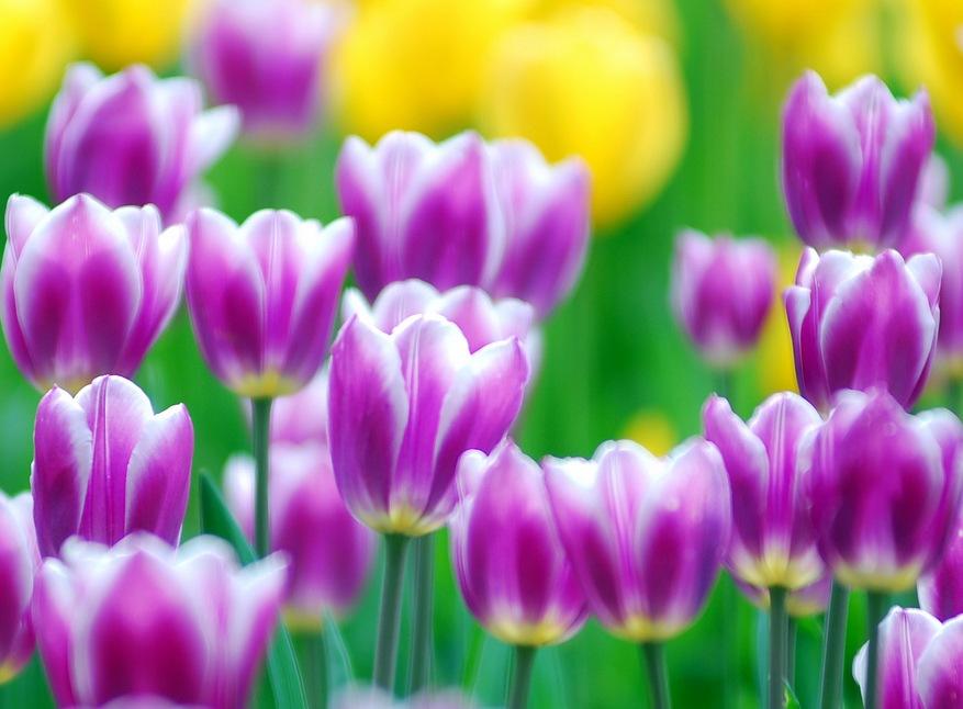 На родине тюльпанов своеобразный