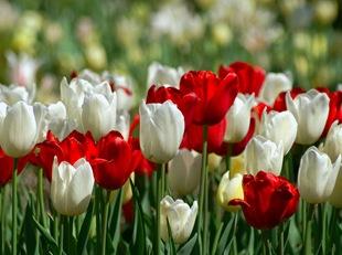 Белые и красные тюльпаны
