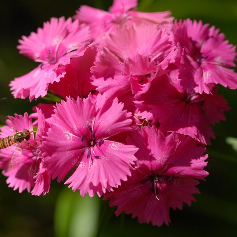 http://flowers.cveti-sadi.ru/files/2010/04/dianthus32chinensis1.jpg