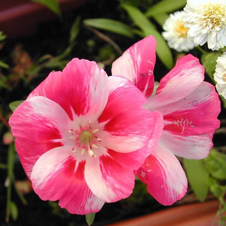 Фото цветка годеция азалиецветковая