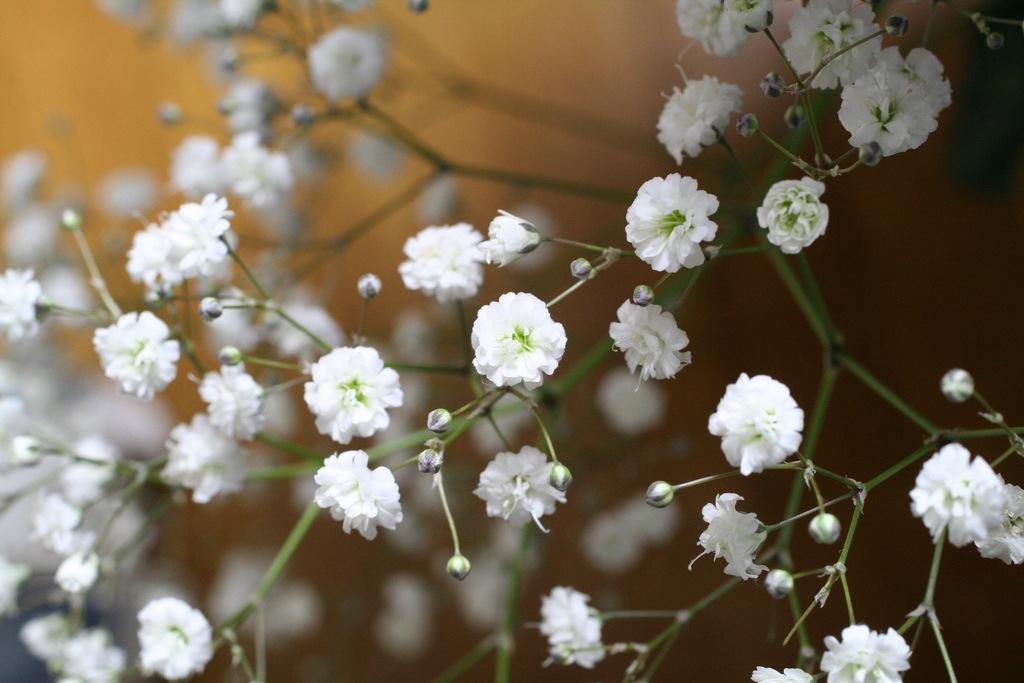 Комнатные растения аглаонема уход в домашних условиях 36