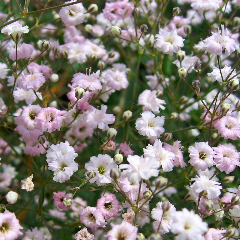 Как сажают цветы львиный зев 973