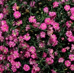 Гипсофила розовая махровая