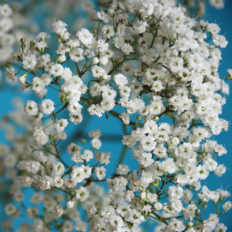 Галерея фотографий гипсофилы.  Возможна посадка черенков в парник в начале лета, или посев семян весной под стекло.