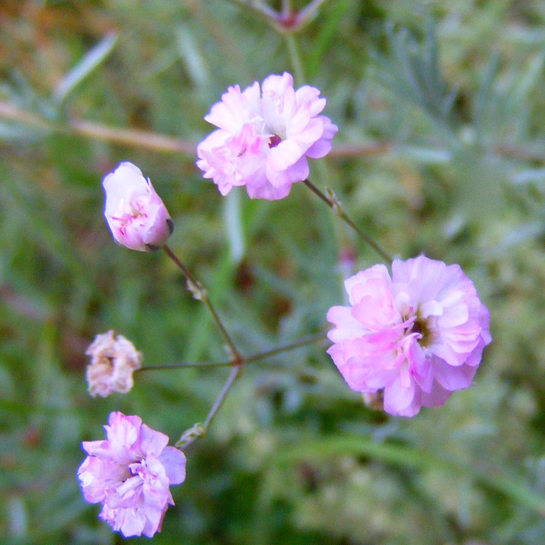 Гипсофила.  Очень красивый цветок,мне нравится он тем,что он какой-то необыкновенный!Он такой нежный и невинный...
