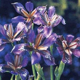 Садовые цветы и растения. Iris_thumb