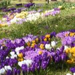 Календарь цветения луковичных и клубневых растений