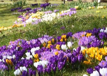Календарь цветения луковичных цветов