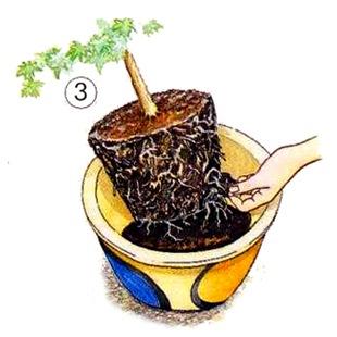 Пересадка кадочных растений