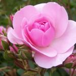 Розы: выбор цветов для сада и весенний уход