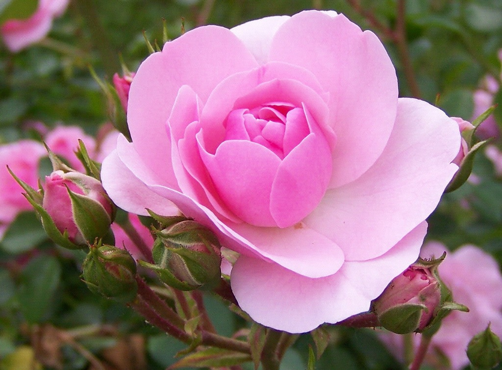 Многолетние цветы 5