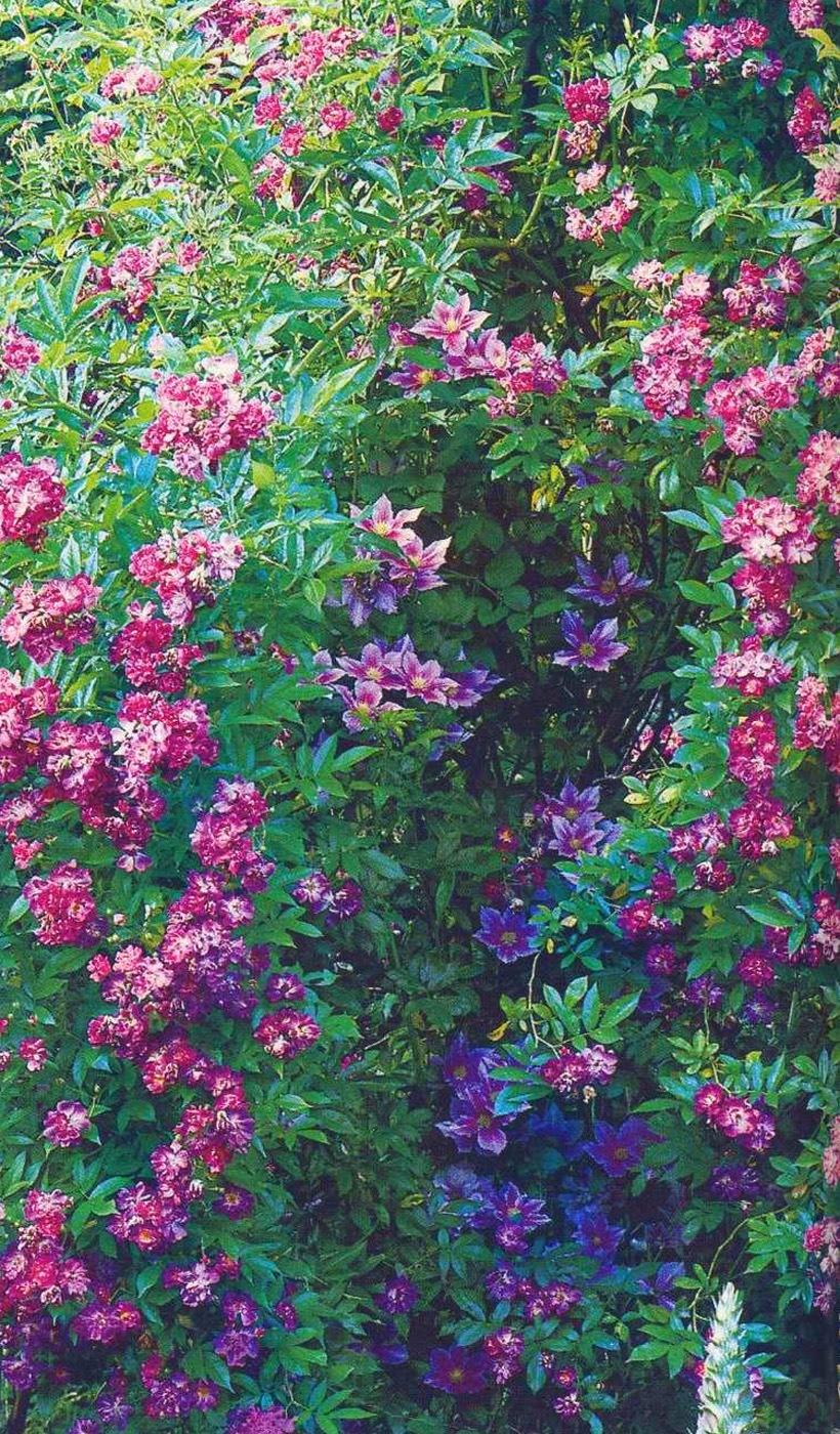Самая лучшая плетистая роза 3