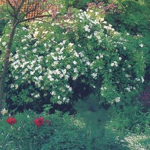 Кустарниковая роза