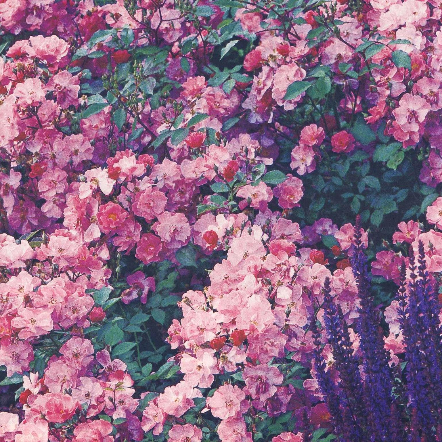 Белые и розовые розы фото