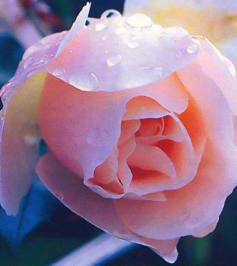 игра белые розы