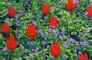 Незабудки и тюльпаны