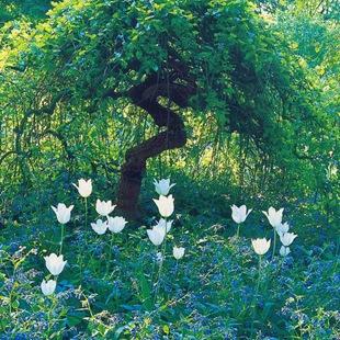 Окопник и тюльпаны