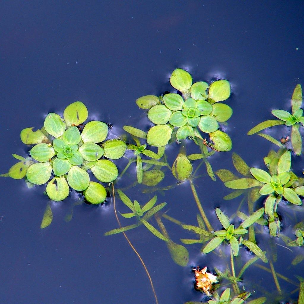 Цветок болотник домашний - 489